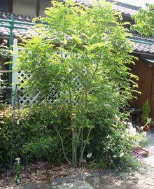 シマトネリコ(半落葉性 高木樹)